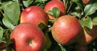 बेंगलुरु में फ्लैट की एक बालकनी में उगा डाले खास किस्म के सेब